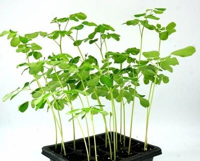 Moringa oleifera Grow kit: Open/Water/Enjoy.