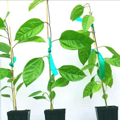 LIVE Passiflora Edulis  Purple passion fruit plant.