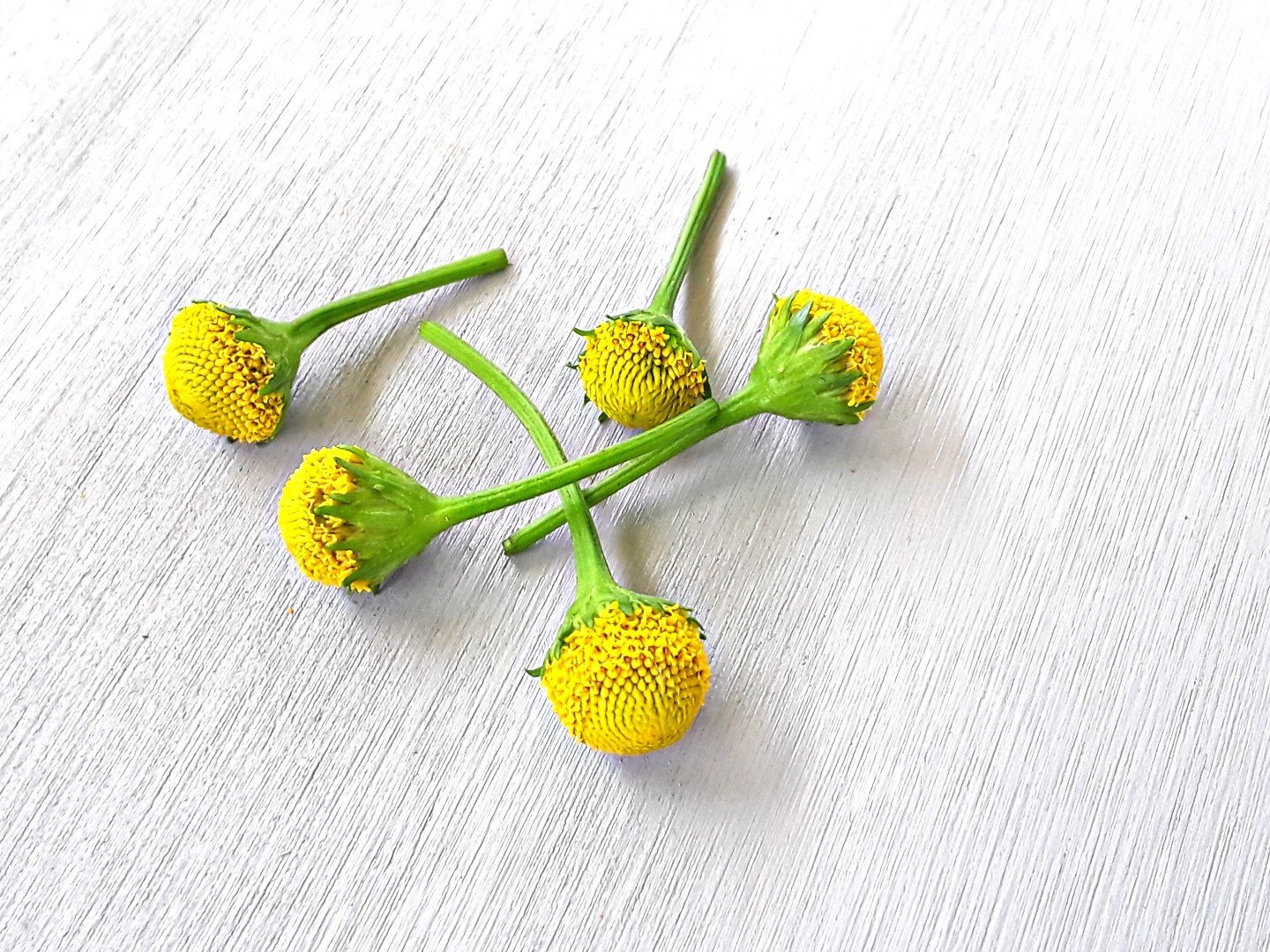 Fresh/edible:  Szechaun flowers/Buzz buttons -Lemon Drop- 60 fresh flowers. 00003