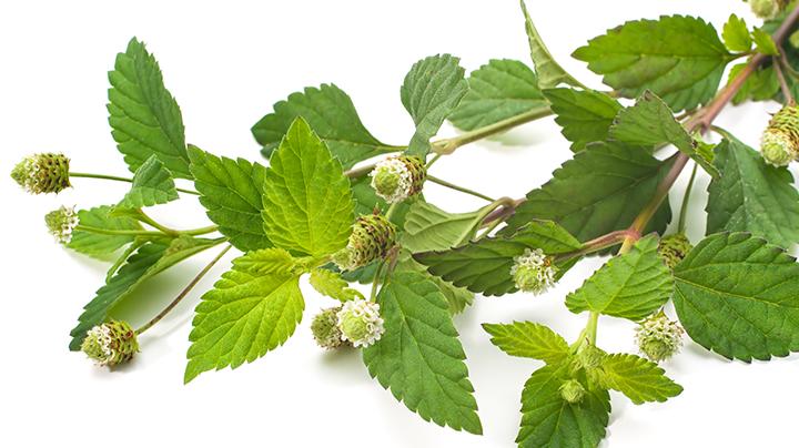 Aztec sweet mint- Lippia dulcis : 50 fresh flowers 00016