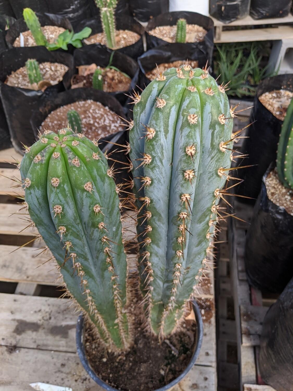 """Trichocereus Peruvianus """"lurin"""""""