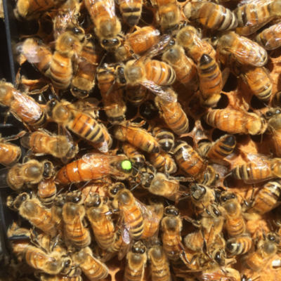 **Preorder Ships September 17th**  Mated Italian Queen Bee
