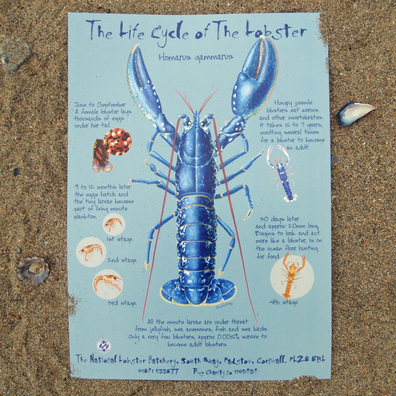 The Life Cycle of the Lobster A4 Poster