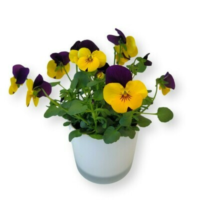 Hornveilchen gelb-violett 'Viola cornuta'