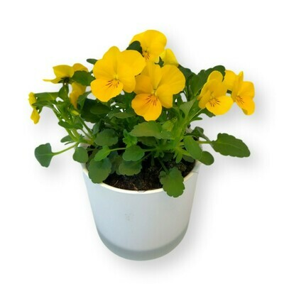 Hornveilchen gelb 'Viola cornuta'