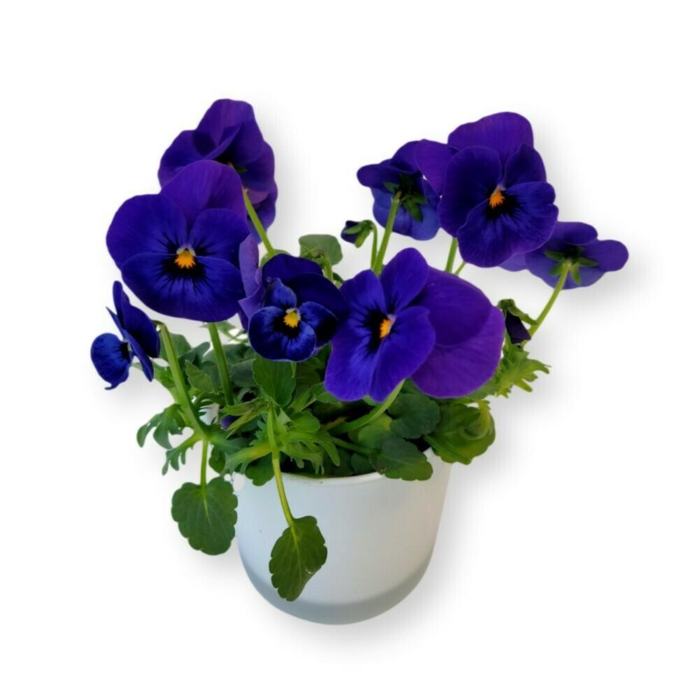 Hornveilchen blau 'Viola cornuta'