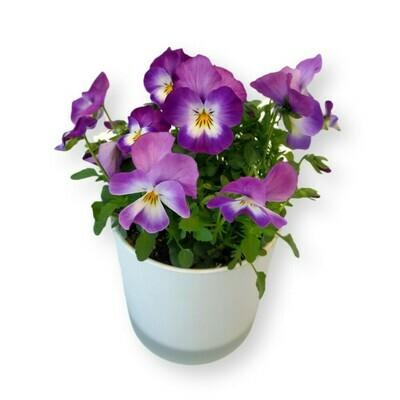 Hornveilchen purpur 'Viola cornuta'