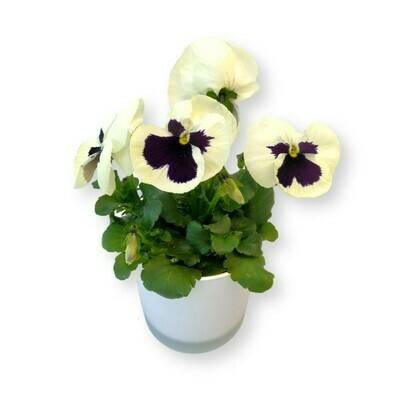 Stiefmütterchen weiss mit Auge 'Viola x wittrockiana'
