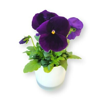 Stiefmütterchen violett 'Viola x wittrockiana'