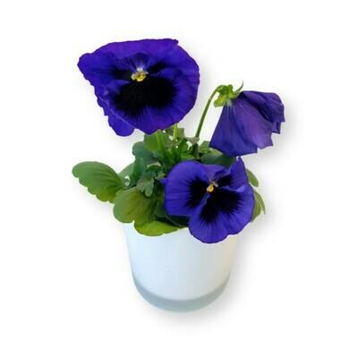 Stiefmütterchen blau-schwarz 'Viola x wittrockiana'