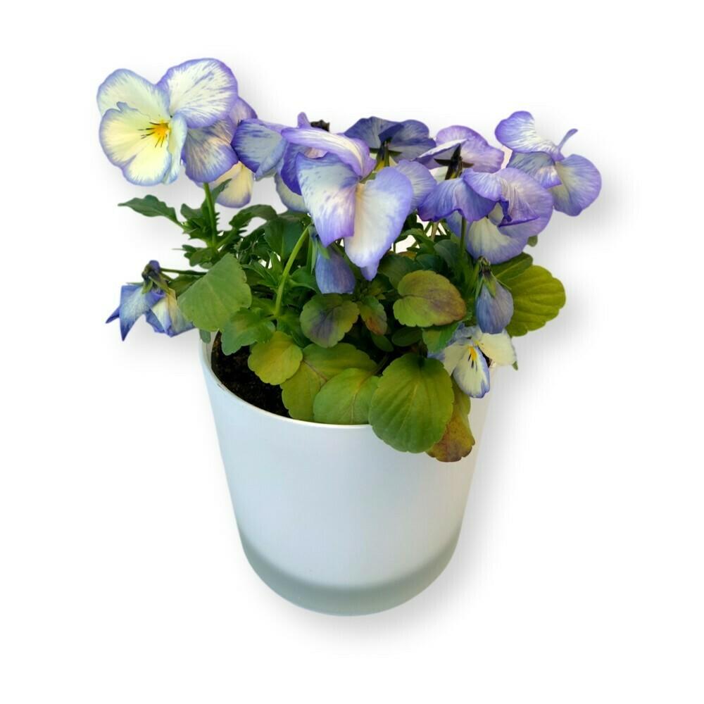 Hornveilchen hellblau-weiss 'Viola cornuta'
