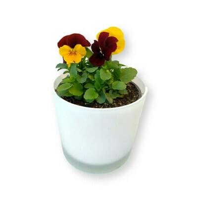 Hornveilchen Mix rot-gelb 'Viola cornuta'