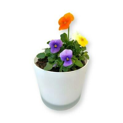Hornveilchen mix 'Viola cornuta'