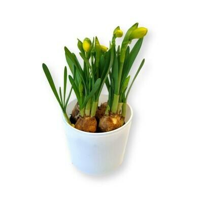 Narzissen  tete à tete Osterglocken gelb 'Narcissus '