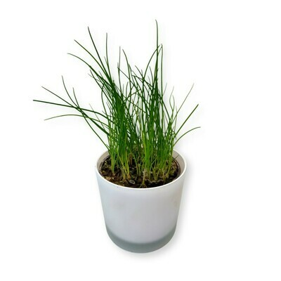 Schnittlauch 'Allium schoenoprasum'