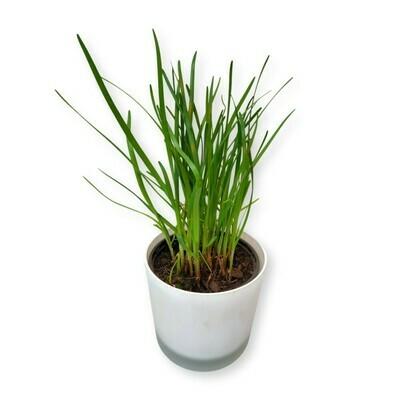 Schnittknoblauch 'Allium tuberosum'