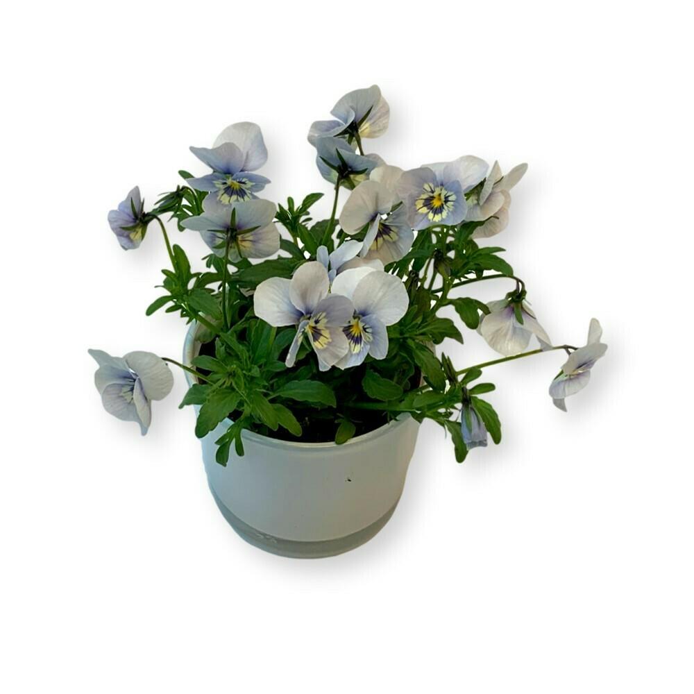 Hornveilchen himmelblau 'Viola cornuta'