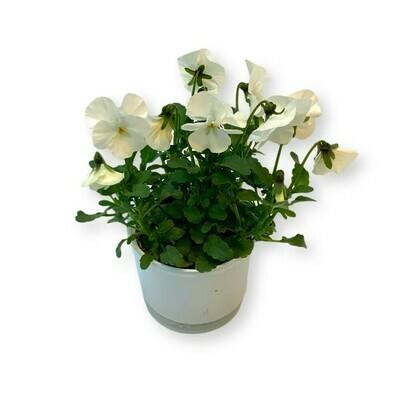 Hornveilchen weiss 'Viola cornuta'