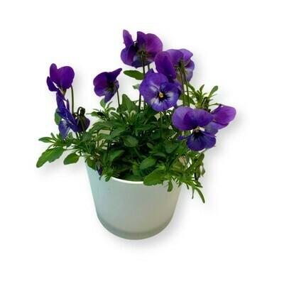 Hornveilchen hellblau 'Viola cornuta'
