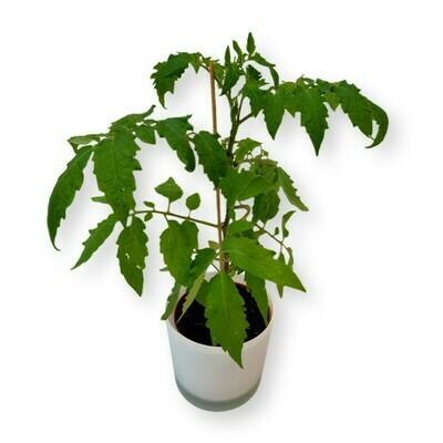 Tomate 'Birnenförmig'