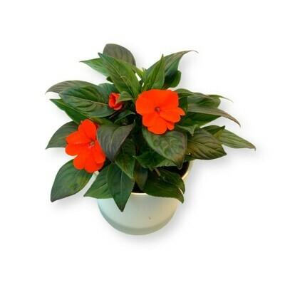 Edellieschen Timor  orange-rot 'Impatiens Neuguinea'