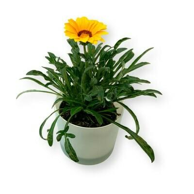 Mittagsgold gelb 'Gazania Cultivars'