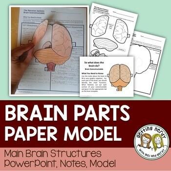 Nervous System - Brain