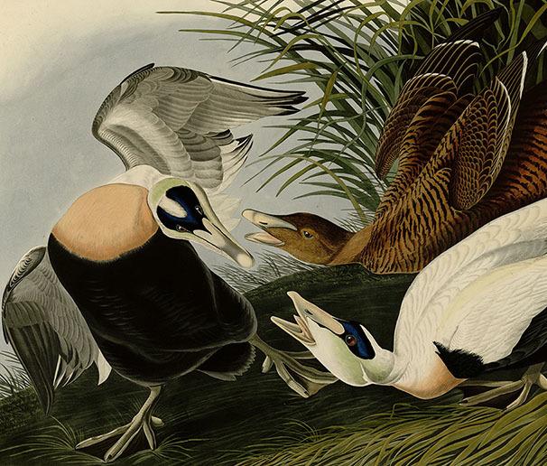 Eider Duck. John James Audubon. 3д картина. 00003
