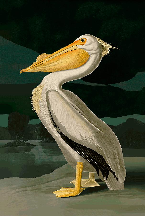 American White Pelican. John James Audubon. 3д картина. 00007
