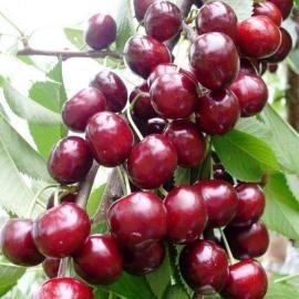 Саженцы черешни Крупноплодная