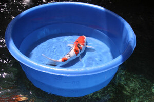 "MATALA, Koi Viewing Bowl  27"" in Dia x 13"" Deep"