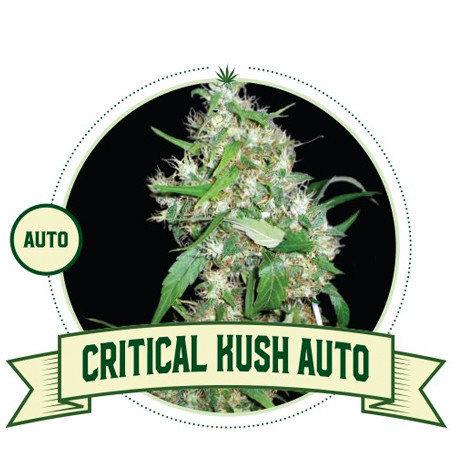 Critical Kush Automatic