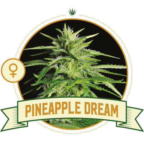 Pineapple Dream Feminized