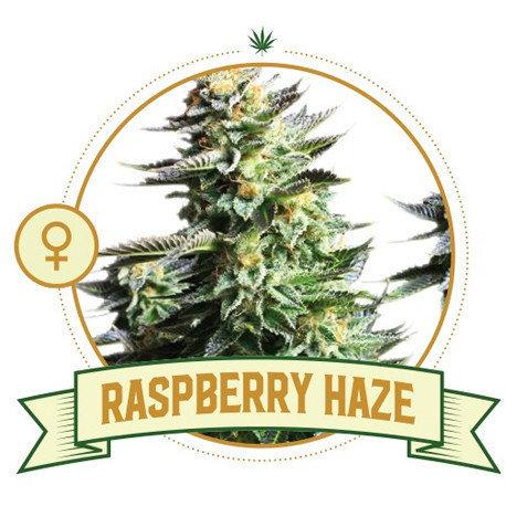 Raspberry Haze Feminized