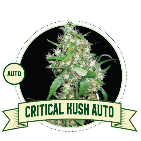 Critical Kush Automatic