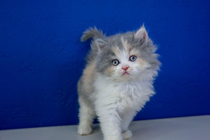 Delight - Blue Calico Bicolor Solid Female Ragamuffin Kitten