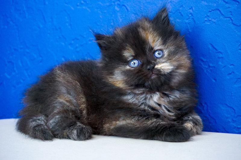 Reba - Black Calico Solid Female Ragamuffin Kitten