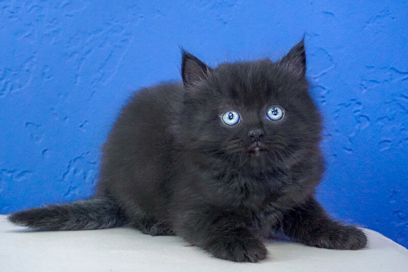 Caspian - Black Solid Male Ragamuffin Kitten