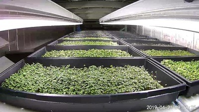 Microgreens 10X20 Trays