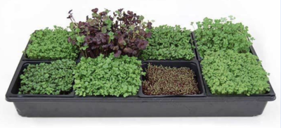 Tray of Microgreens 5X5