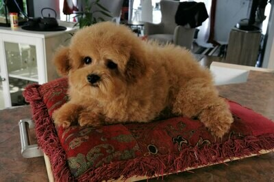 MEDOC (MALE) TINY TOY (+-10 LBS)