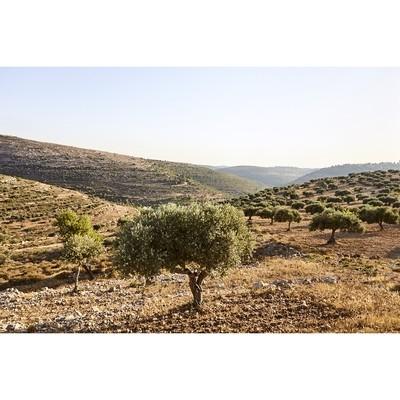 Olive Fields/Ein Qiniya