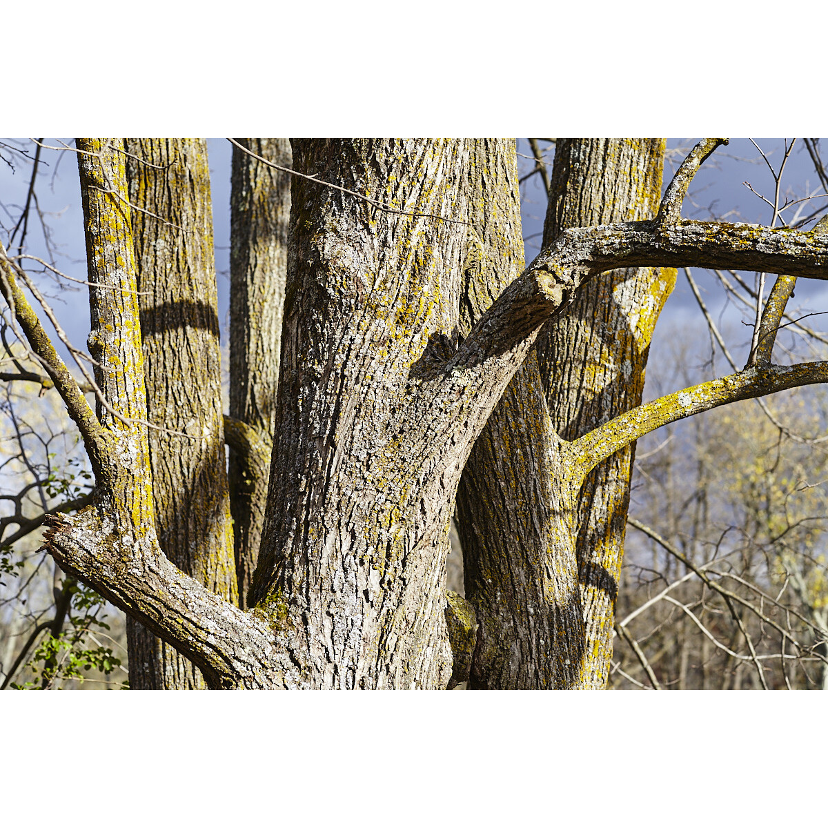 Untitled (Tree Trunks)
