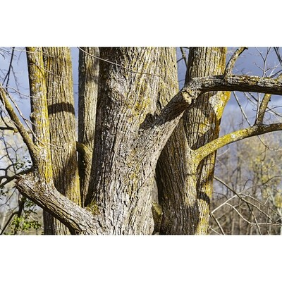 Untitled (Tree Trunks)
