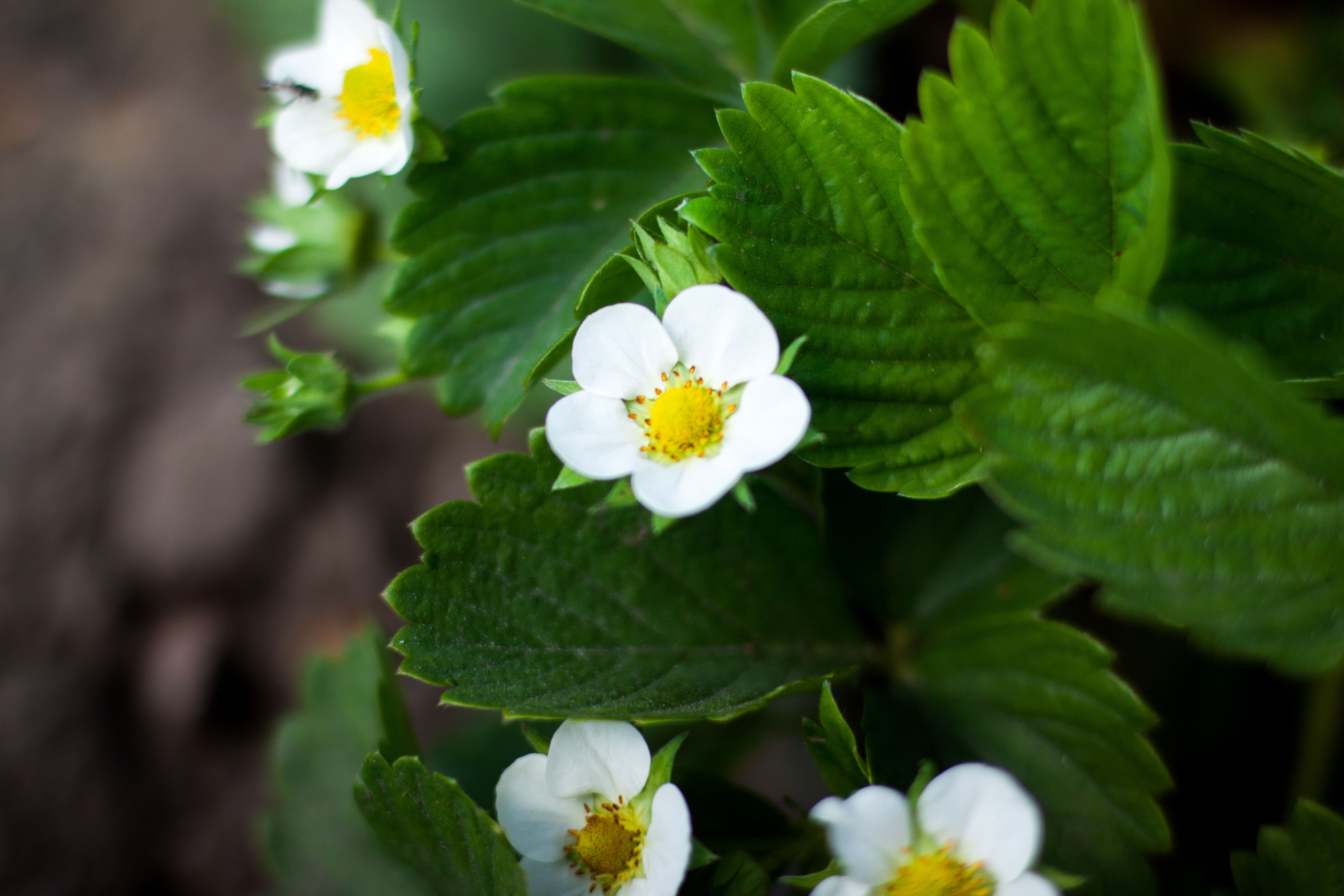 10 Seascape Bare-Root Strawberry Plants Including FREE strawberry planting guide and strawberry mini cookbook