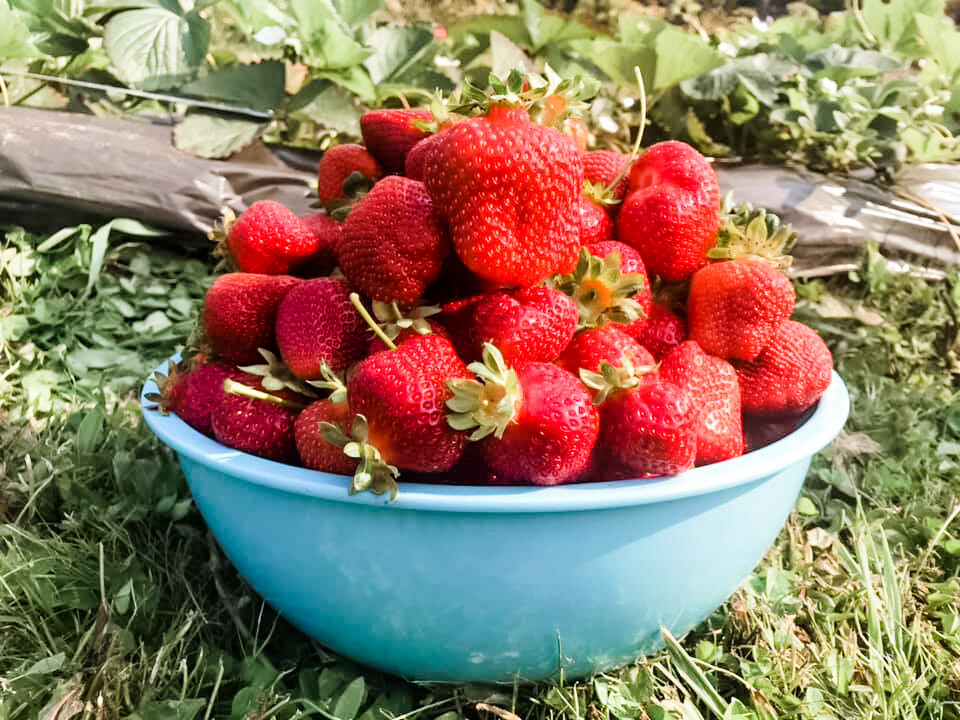 25 Seascape Bare-Root Strawberry Plants Including FREE strawberry planting guide and strawberry mini cookbook