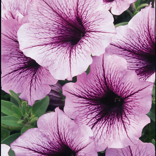 PRESALE - PURPLE SUPERTUNIA BASKETS