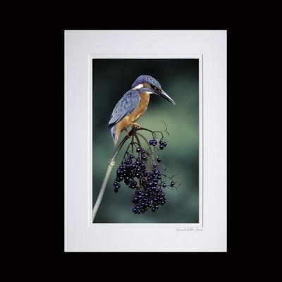 Kingfisher on Elderberries -Photographic Print
