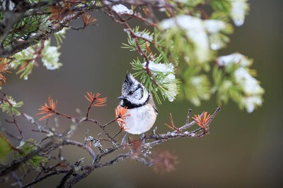 Crested Tit (Winter 2019)  -Photographic Print