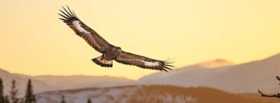 Golden Eagle - Pano Photographic Print